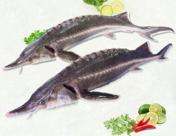 Cá Tầm nguyên liệu nấu lẩu tại nhà hàng Memoryđược chọn lọc nghiêm khắc từ nhà cung cấp