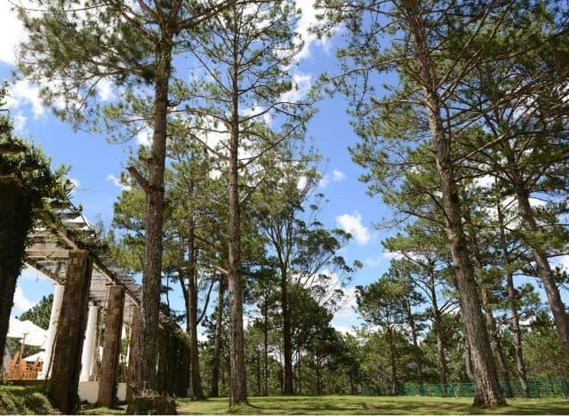 Rừng thông bao phủ quanh dinh1